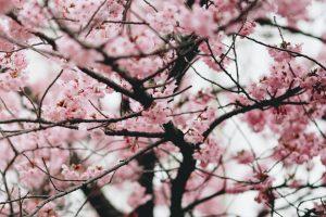 plant een geboorteboom: impressie van een bloesem van de Japanse kerselaar