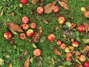 appels in tuin